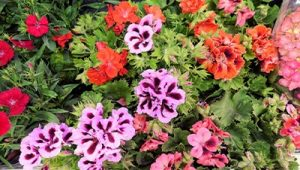 Citronella plant, full of colorful red and purple flowers, planted in a garden to repel mosquitoes.