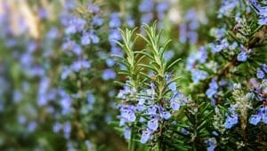 Rosemary planted outside to help repel mosquitoes.